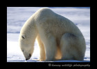 Meditating_Polar_Bear-1