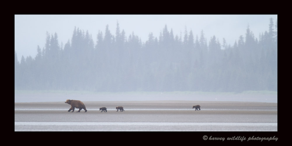 Brown bear mom and cubs on the Ocean floor at low tide looking for clams.