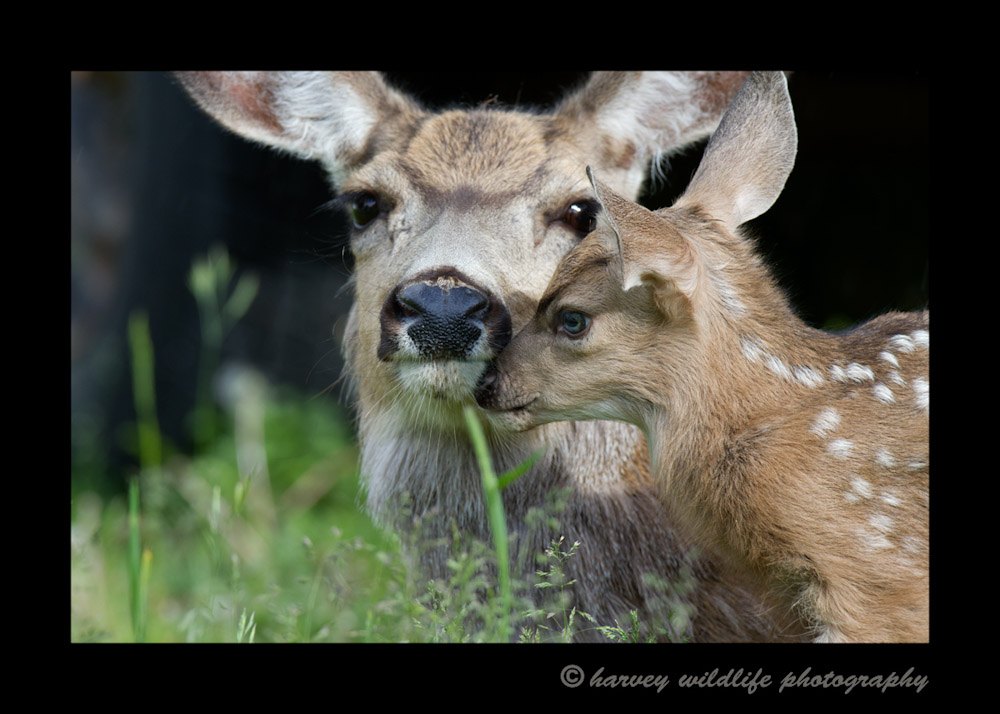 Mom-and-fawn-5500