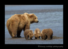 At low tide, mom digs up clams, then the three cubs enjoy an Alaskan delicacy. Next to their afternoon nap, I think this is likely their favorite activity of the day.