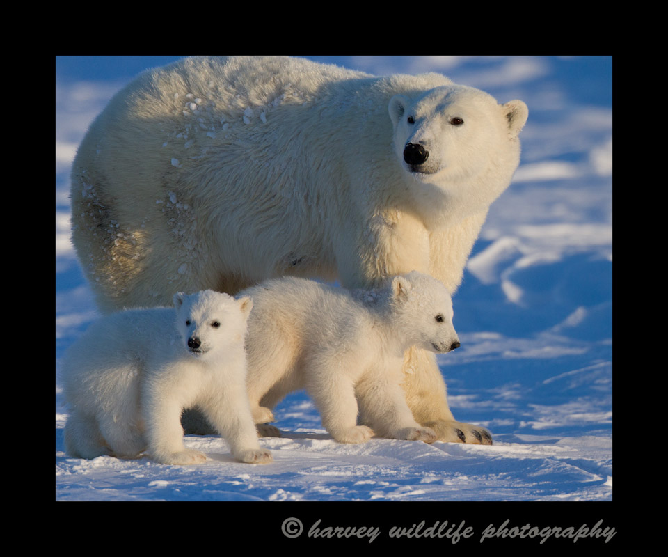 Mom and Cubs at Dusk
