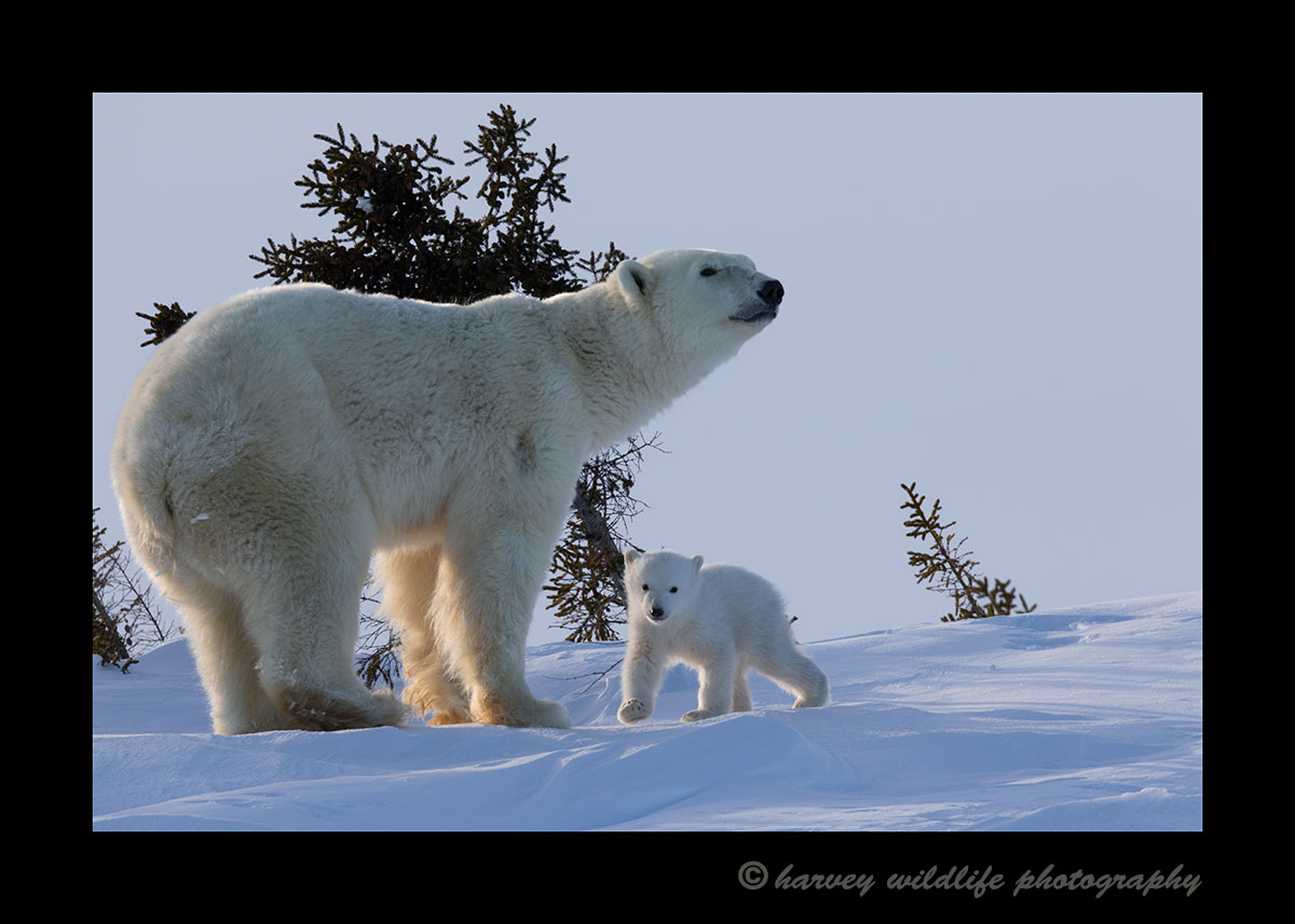 Polar bear mom and cub in Wapusk National Park. Photograph by Harvey WIldlife Photography