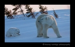 Mom and twins in Wapusk National Park. Photgraphy by Harvey Wildlife Photography.