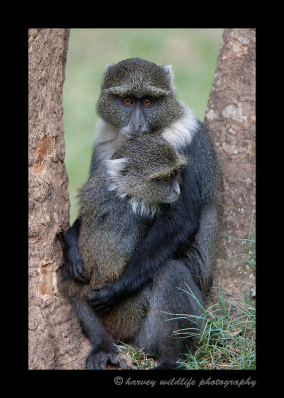 These sykes monkeys live in City Park or Monkey Park in Nairobi. There are lots of these monkeys in the park. They love to beg for food. Unfortunately the locals and tourists give them pretty much anything they ask for.
