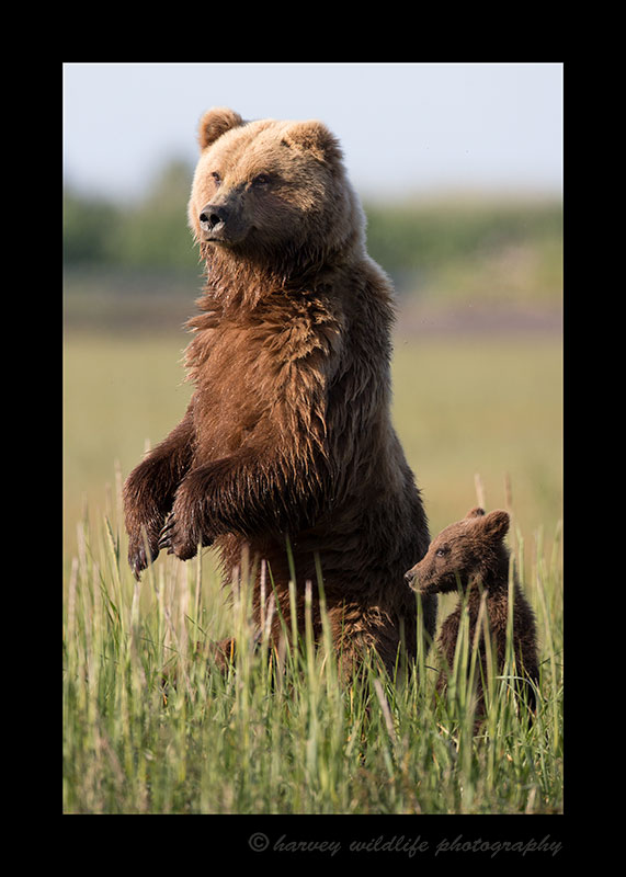 Mother Brown Bear Standing