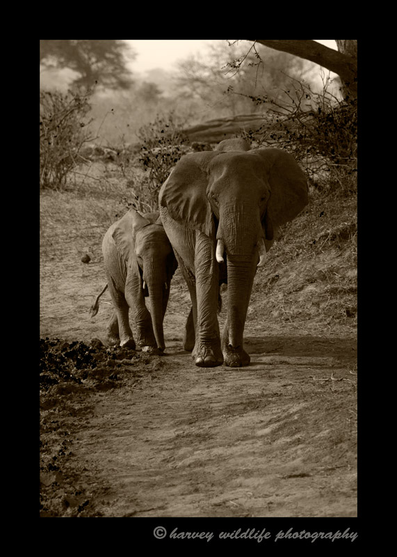 This mother and daughter were two of fifty or so elephants heading toward a swamp for a drink.