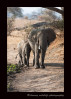 This mother and daughter were the last of 50 or so elephants on their way to a swamp for a drink.