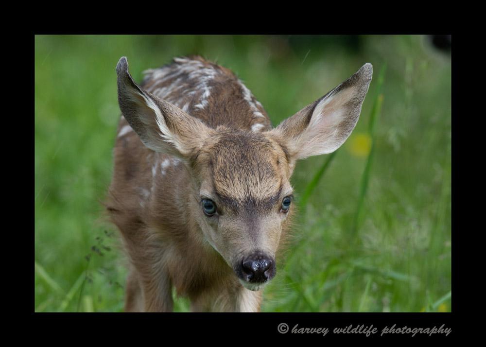 Mule-Deer-Fawn5515