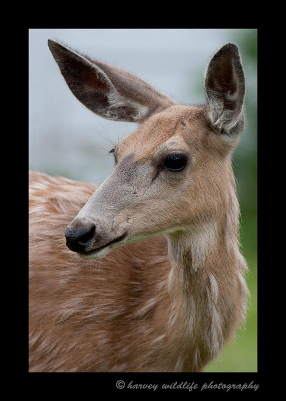 Mule-deer-portrait