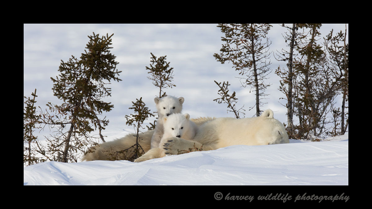 Nanuq family resting in Wapusk National Park