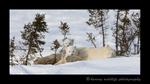 Nanuq family resting in Wapusk National Park