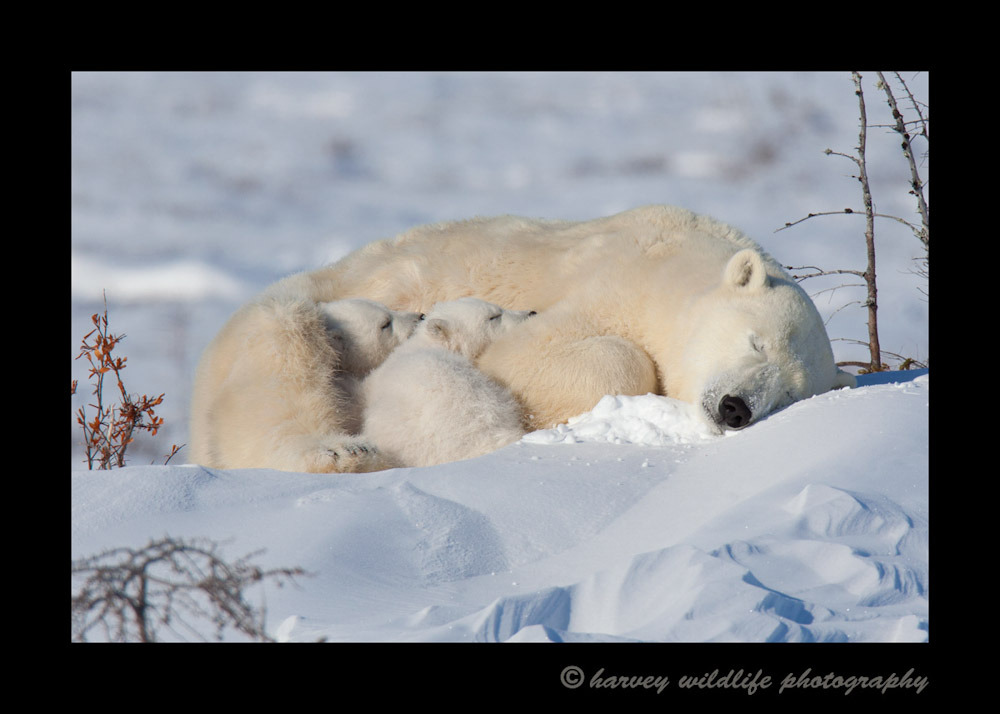 This polar bear famliy has a little nap before continuing on to Hudson Bay.