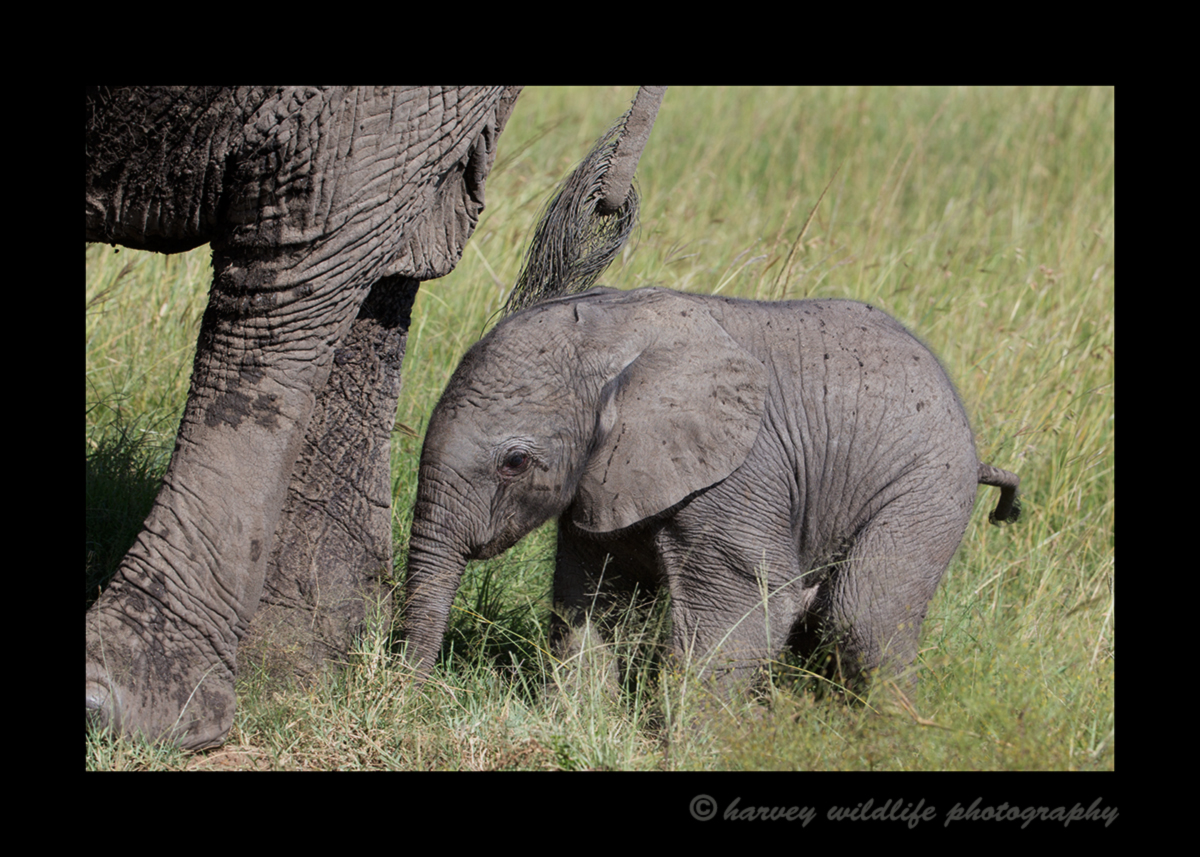 Picture of a new born elephant in the Masai Mara National Reserve in Kenya. Photo by Harvey Wildlife Photography. This ellie baby is likely only a few days to a week old. Watching her was cute because she kept going from elephant to elephant trying to nurse. She would get confused not knowning which one was her mommy.