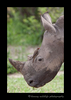 Ox_pecker_Rhino_South_Africa_2008