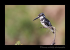 Pied_Kingfisher_IMG_9633