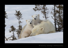 Polar Bear Twins on Mom