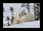 Polar Bear Twins on Mom