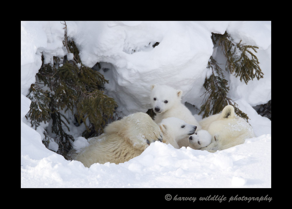 This polar bear family rests in a day den before continuing on the next leg of their jouney on to Hudson Bay.