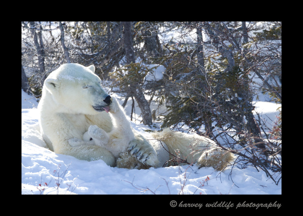 Polar-bear-bath-time