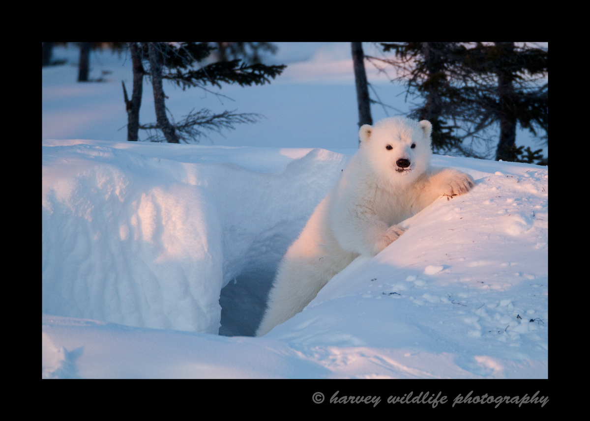 polar bear cub on a den