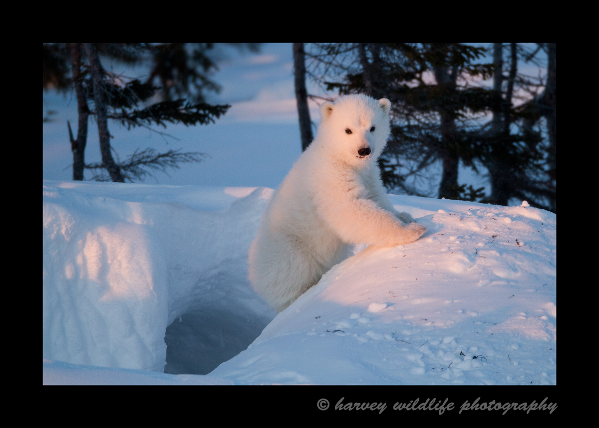 Polar bear cub on den