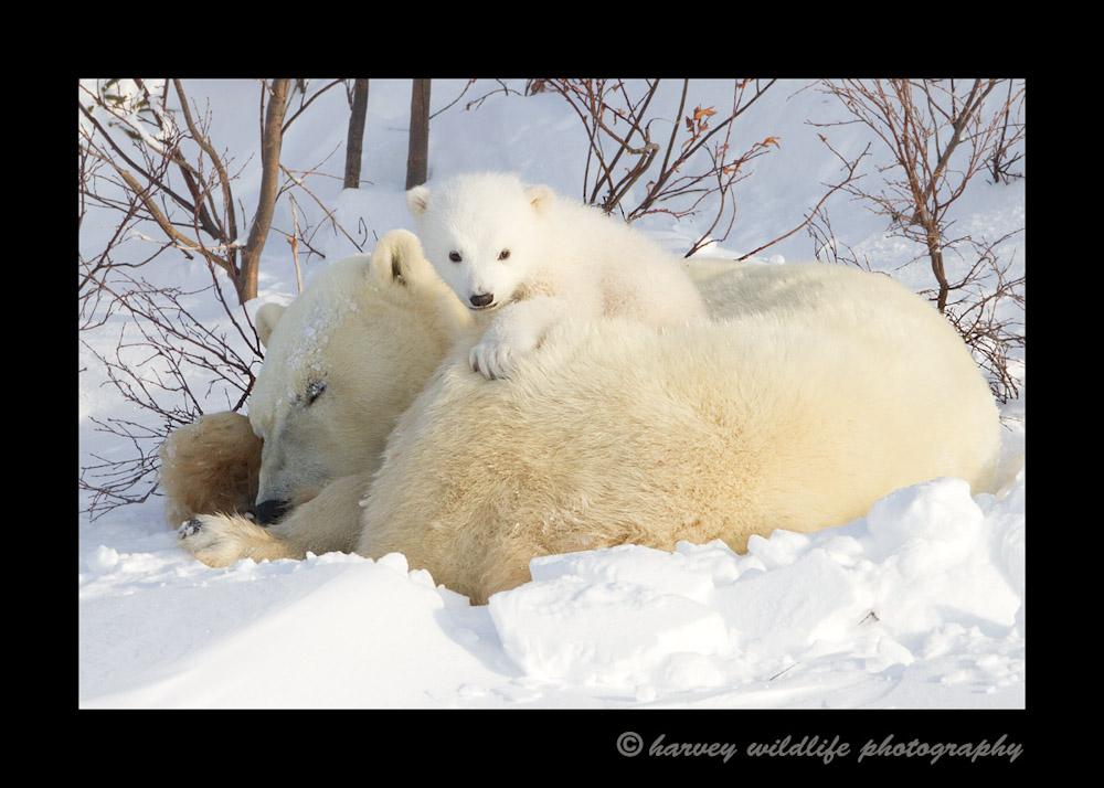 Polar-bear-cub-on-mom-12