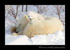 Polar-bear-cub-on-mom-12