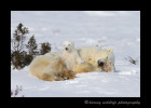 I got a kick out of this polar bear cub as he reclines on his mother as though she is an easy chair.