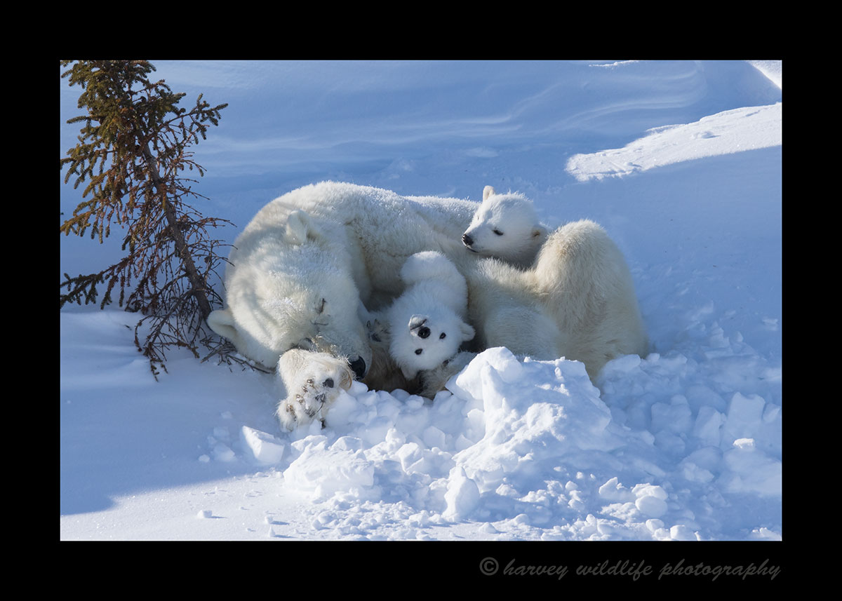 Photo of polar bear cubs with mom