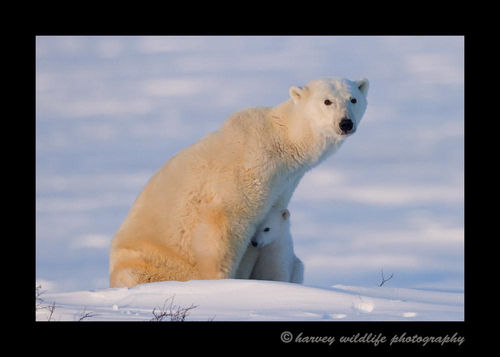 Even polar bear cubs play shy around strangers.