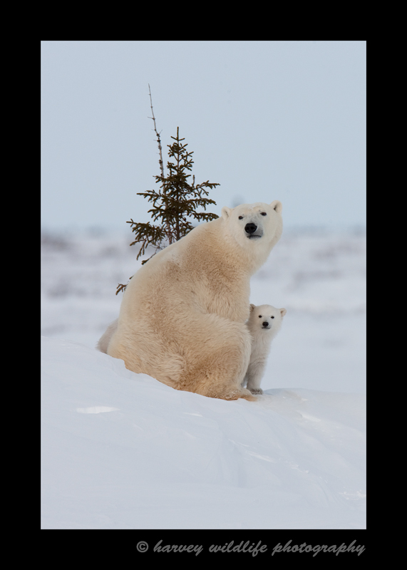 Polar Bear Mom and Cub II