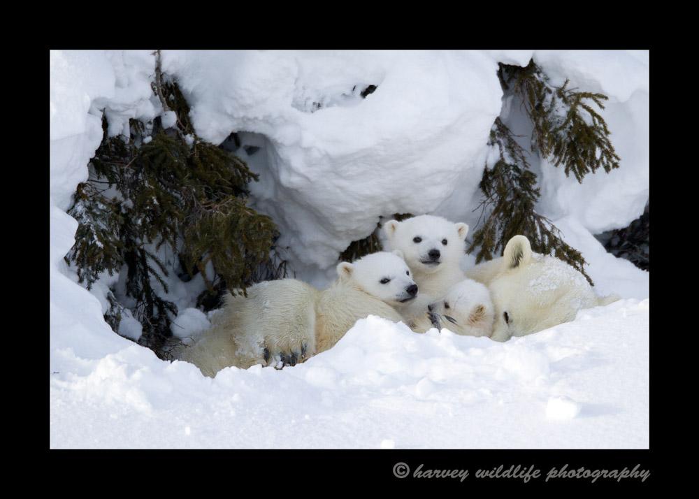 Polar Bear Triplets II