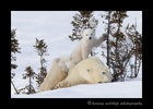 polar bear cub on mom\'s back while playing with a tree in Wapusk National Park. Photography by Harvey Wildlife Photography