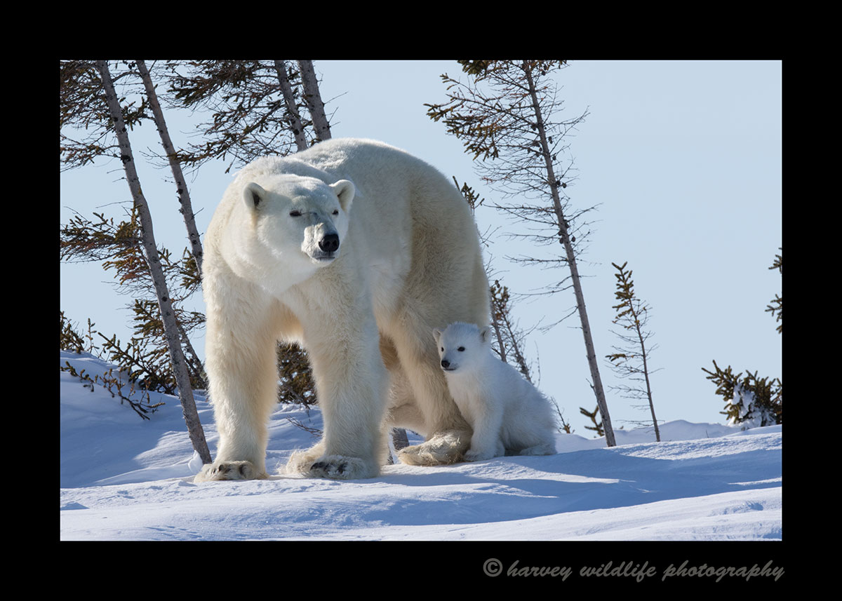Polar bear family in Wapusk National Park, Manitoba, Canada. Photograph by Harvey Wildlife Photography.