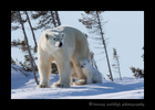Polar bear family in Wapusk National Park, Manitoba, Canada. Photograph by Harvey Wildlife Photography.