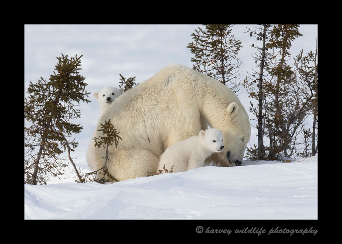 Polar bear family in Wapusk National Park.
