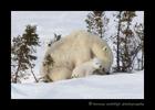 Polar bear family in Wapusk National Park.