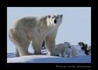 polar bear mom and twins in Wapusk National Park.