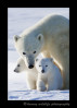 Polar bear family portrait in Wapusk National Park, Manitoba 2013.