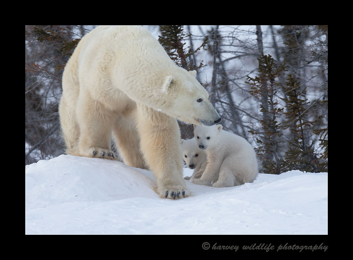 Polar bear family in Wapusk National Park. Photograph by Harvey Wildlife Photography.