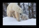 Polar bear family in Wapusk National Park. Photograph by Harvey Wildlife Photography.