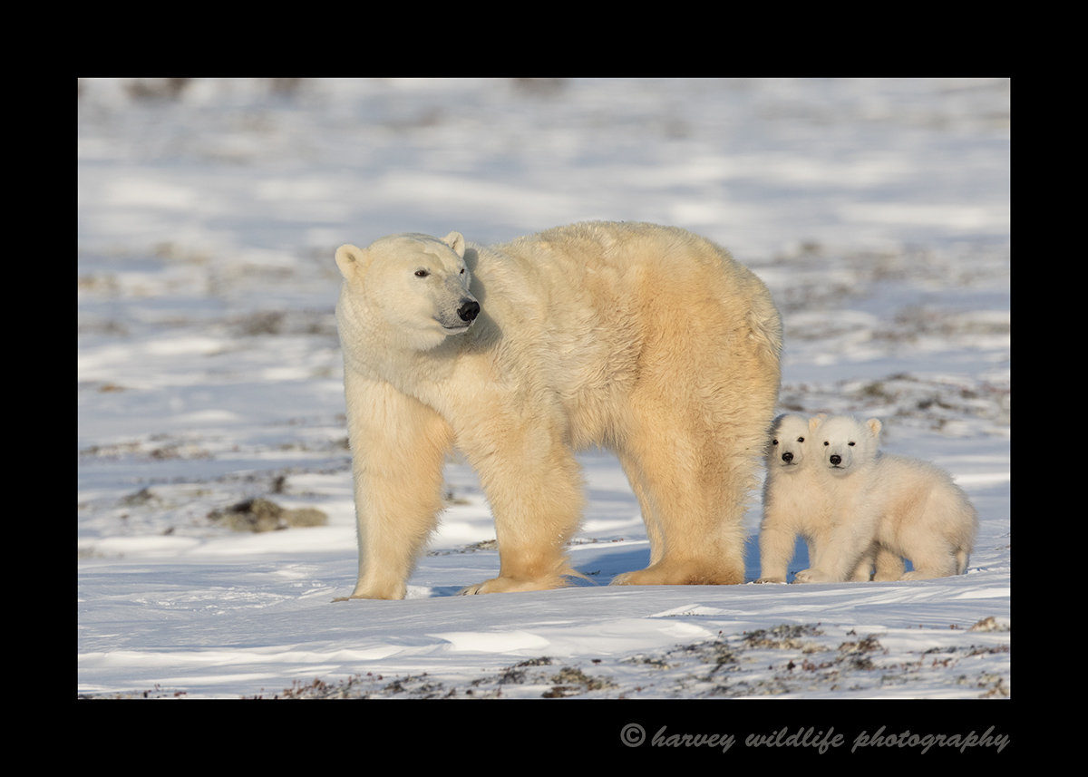 Polar Bear Mom and Cubs Walking 2015