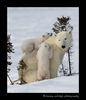 Polar Bear cub climbs on mom's back