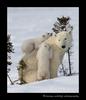 Polar Bear cub climbs on mom's back