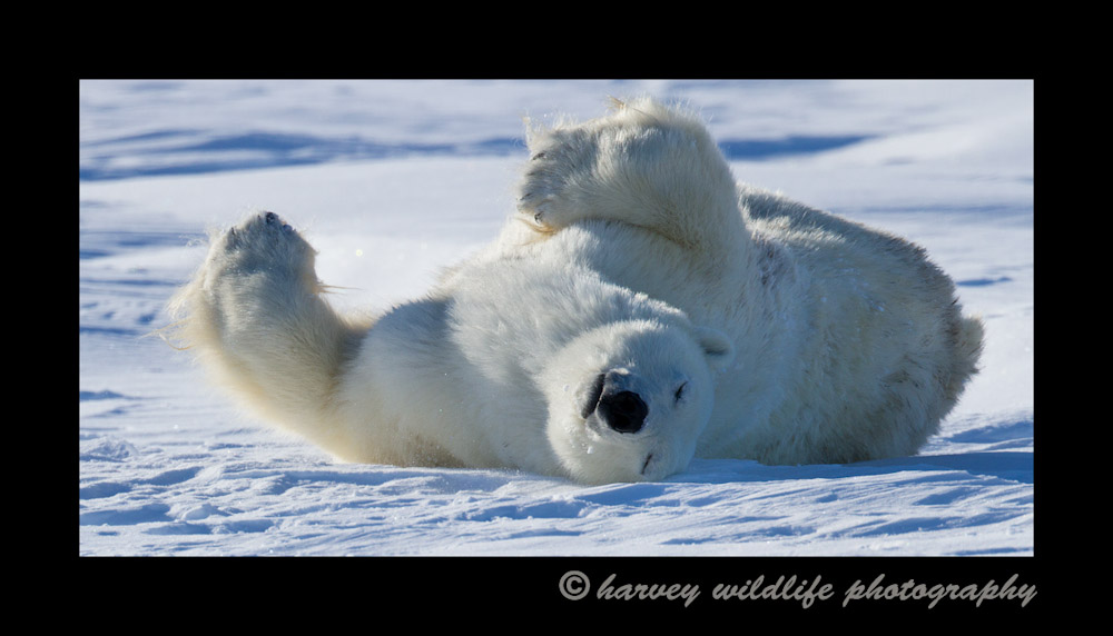 Polar_Bear_Snow_Bath1