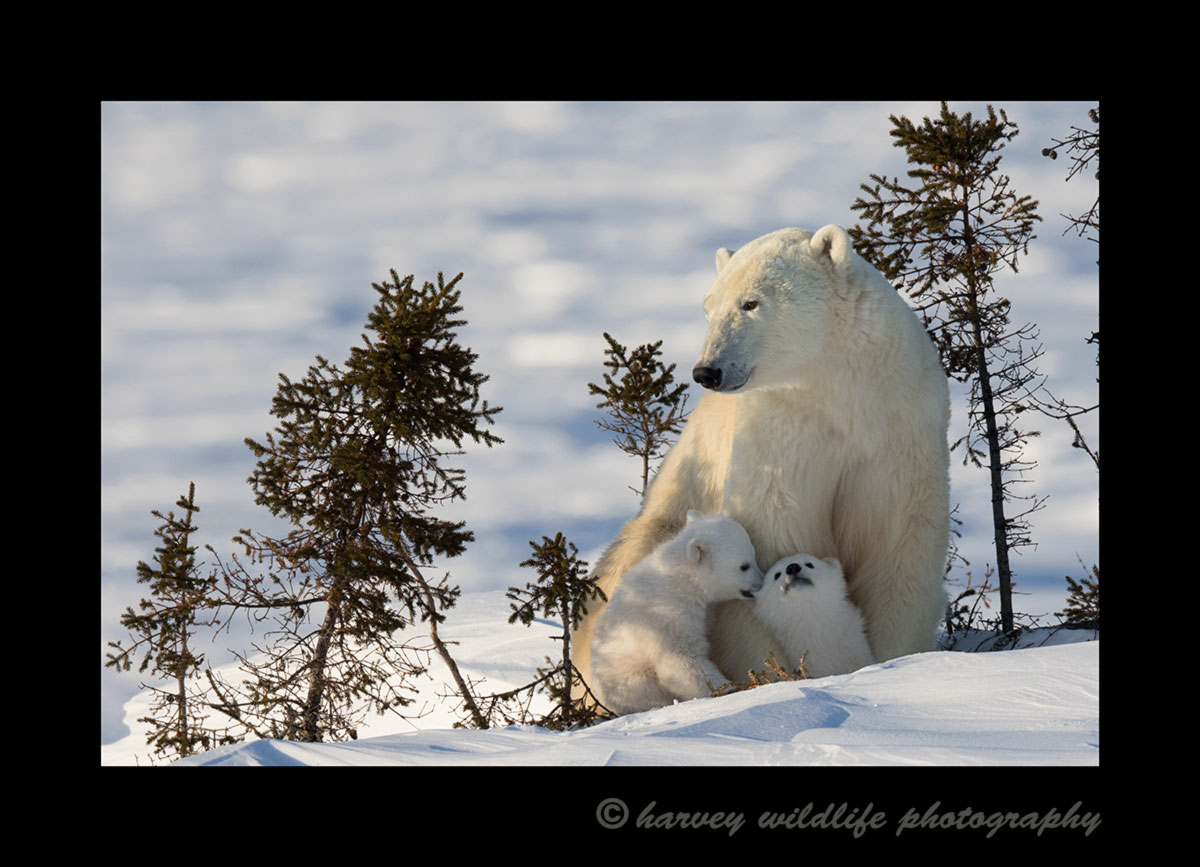 Polar bear twins playing in Wapusk National Park. Photogrraph by Harvey Wildlife Photography