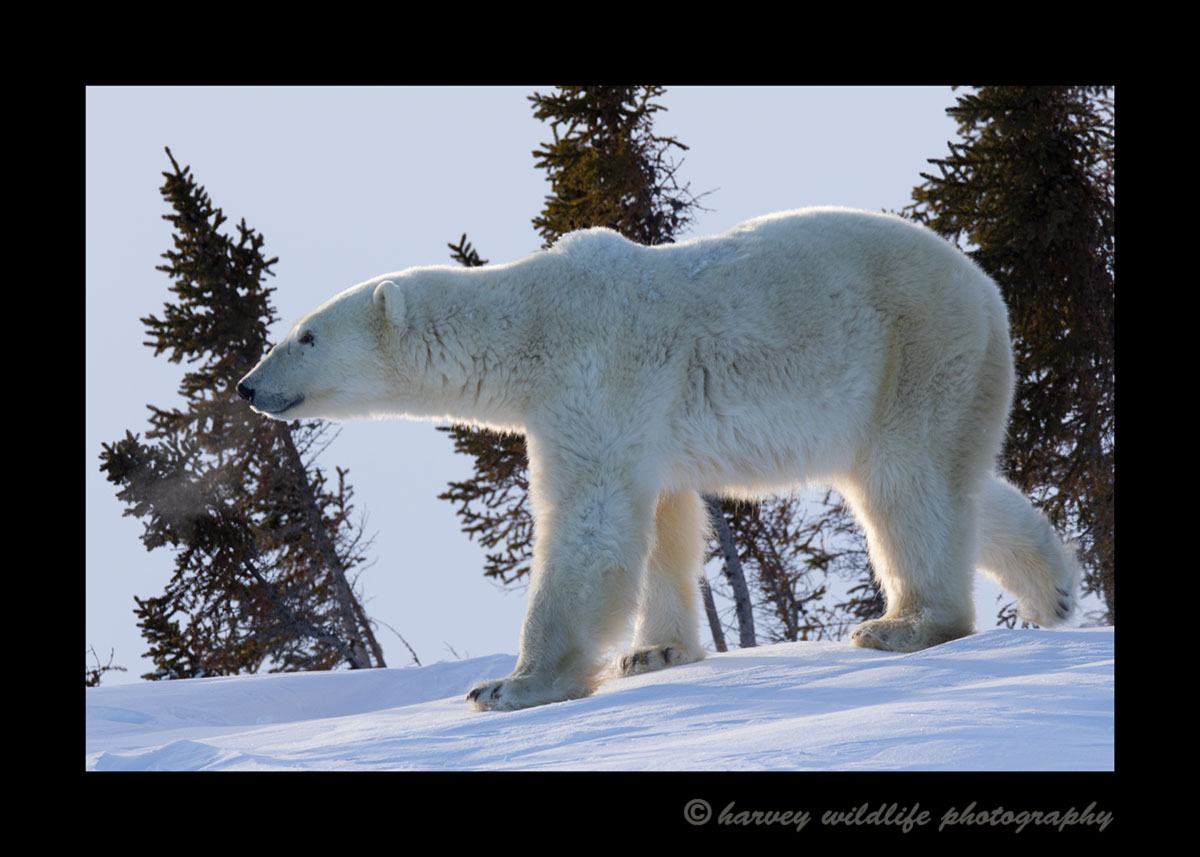 Polar bear walking in Wapusk National Park, 2015