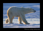 Polar_Bear_Walking