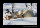 Polar Bears Cuddling