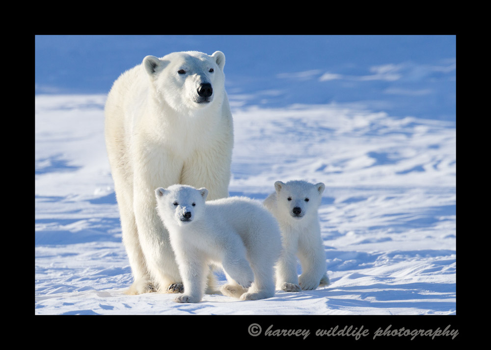 Polar_Bears_Hudson_Bay_1